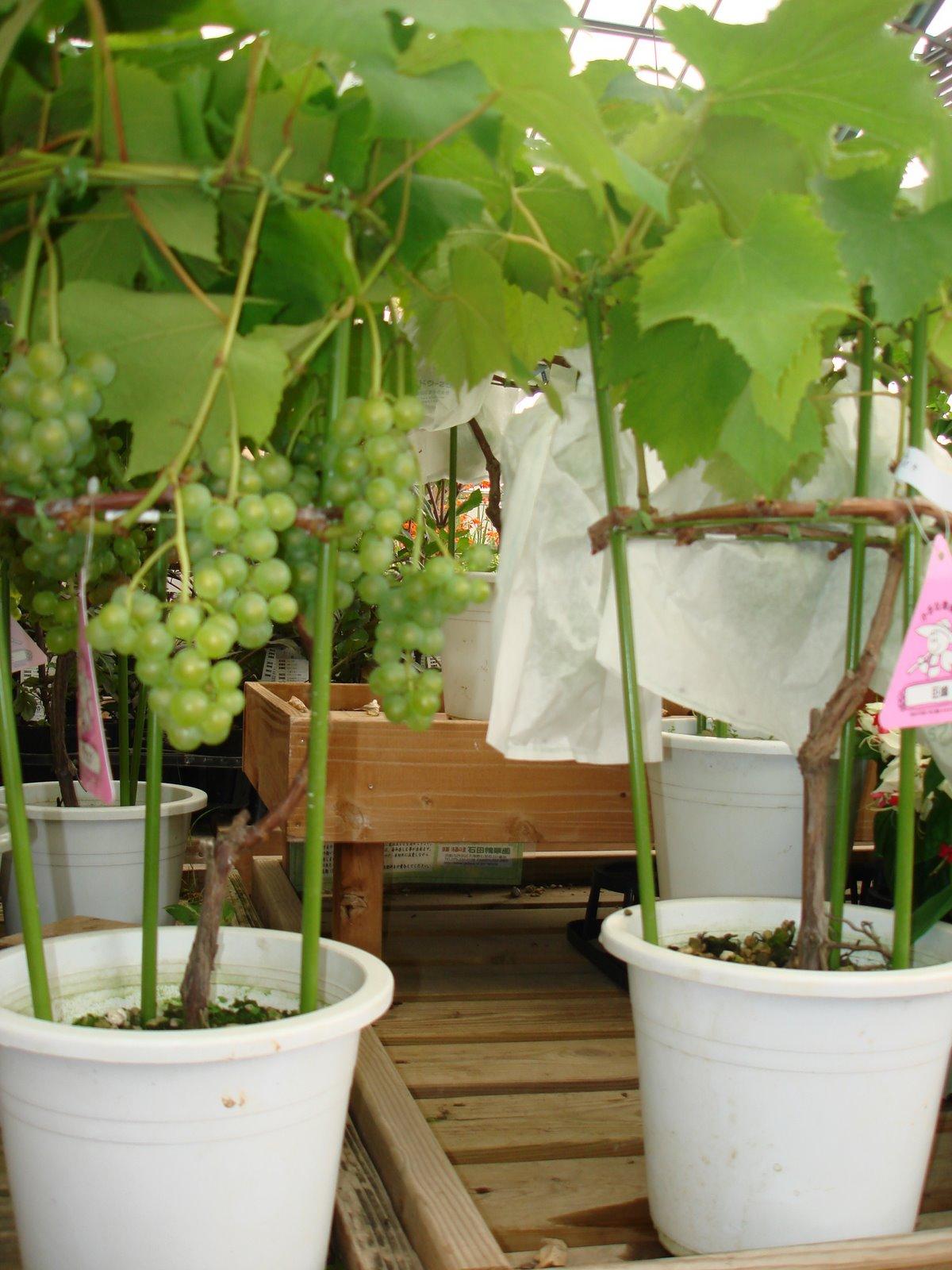 ... anggur bisa dibentuk sedimikian rupa sehingga tampak cantik dan unik