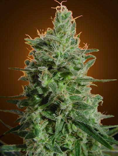 Ganja truja yerba plantas de alta producci n for Produccion marihuana interior