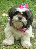 Molly the Shih Tzu