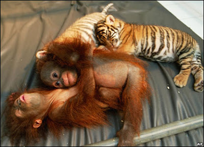 picture of chimp and tiger cub