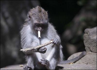 monkey smoking