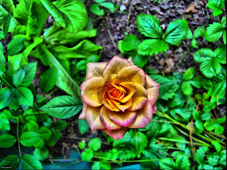 HDR überarbeitete Rose