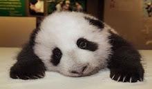 China's Pandas
