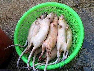 [ratos]
