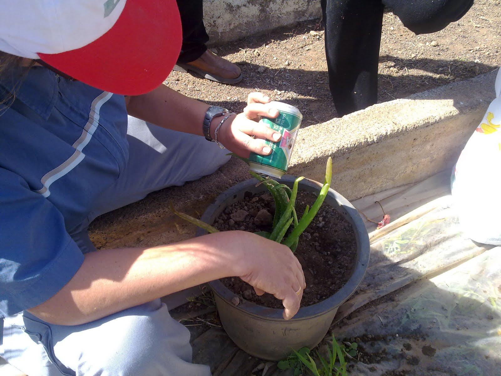 Curso auxiliar jardineria siembra de aloe vera for Auxiliar jardineria