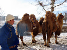 Camels in the City