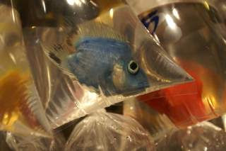 Picture of a blue fish in plastic bag looking a bit forlorn