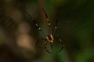 Image of the underside of a spider with very long legs and yellow, red, black, and white colouration
