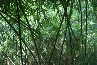 Image of bamboo growing in an abandoned field in Hong Kong's New Territories.