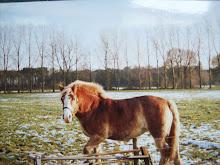 winnie als volgroeid paard