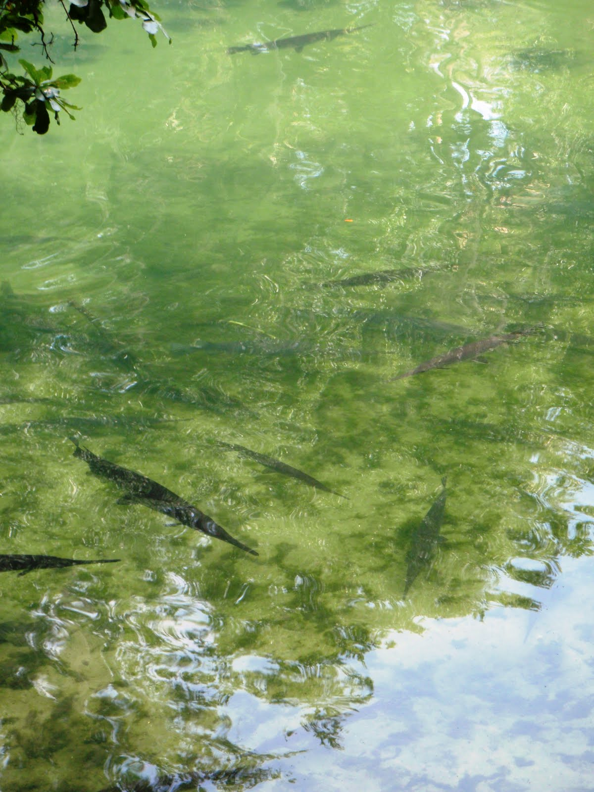 The flying mullet adventures at blue spring state park for Florida state fish