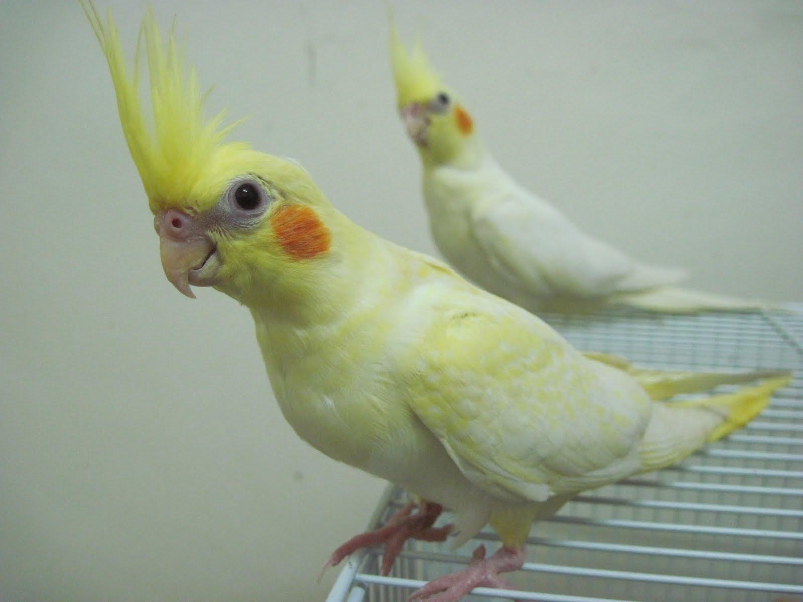 Yellow Lutino Cockatiel