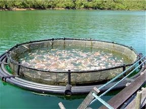 El mal de chile salmoneras chilenas crisis o proceso for Vivero para peces