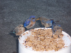 Bluebirds eating favorite food: mealworms
