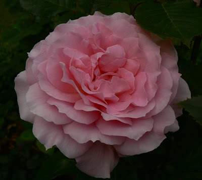 roses at wedgwood house and gardens my roses fi to fr. Black Bedroom Furniture Sets. Home Design Ideas