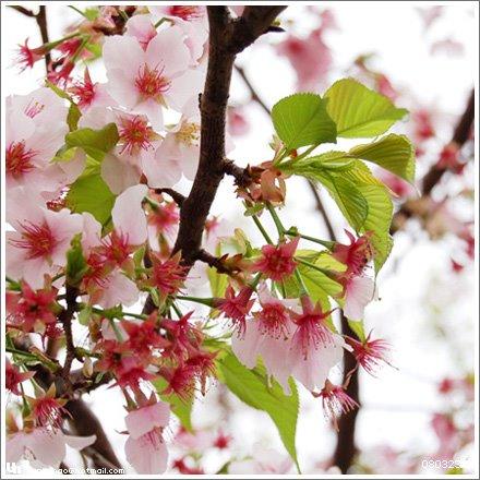 發出嫩芽的吉野櫻。
