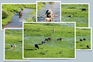 Pływające krowy
