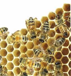 madu, sarang tawon, lebah
