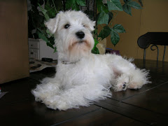 Dixie - 1yr old White Schnauzer