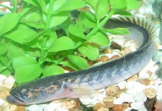 Petland aquatics all the fish on this page are available for Dragon fish goby