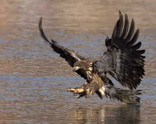 golden eagle hunting wallpaper El Camino del NahualGolden Eagle Hunting Wallpaper