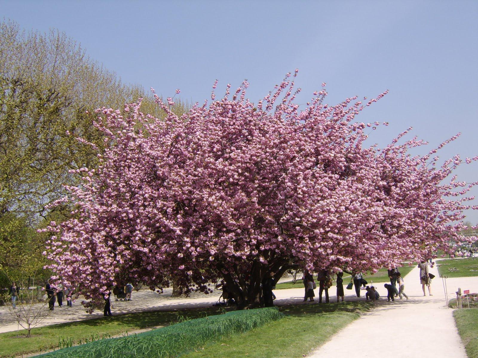 d'un Prunus serrulata au