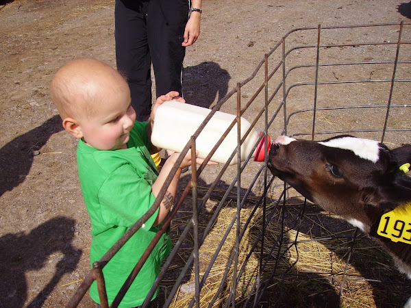 Owen feeds a baby cow