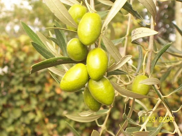 Aceitunas Criollas