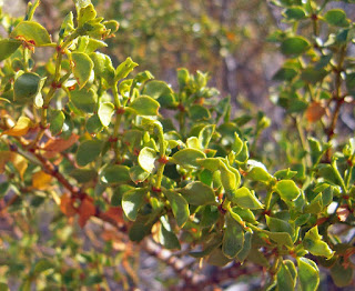 Creosote Bush, leaves