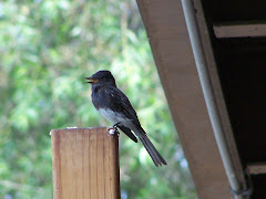 Black Phoebe at Shipley Nature Center