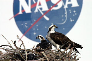 Osprey on the nest at NASA Courtesy of NASA