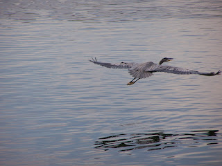 Great Blue Heron flying at Lake Balboa