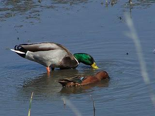 Mallard and Cinnamon Teal dabble in the San Joaquin Marsh
