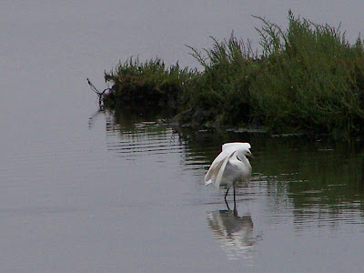 Snowy Egret Coming in for a Landing at Bolsa Chica