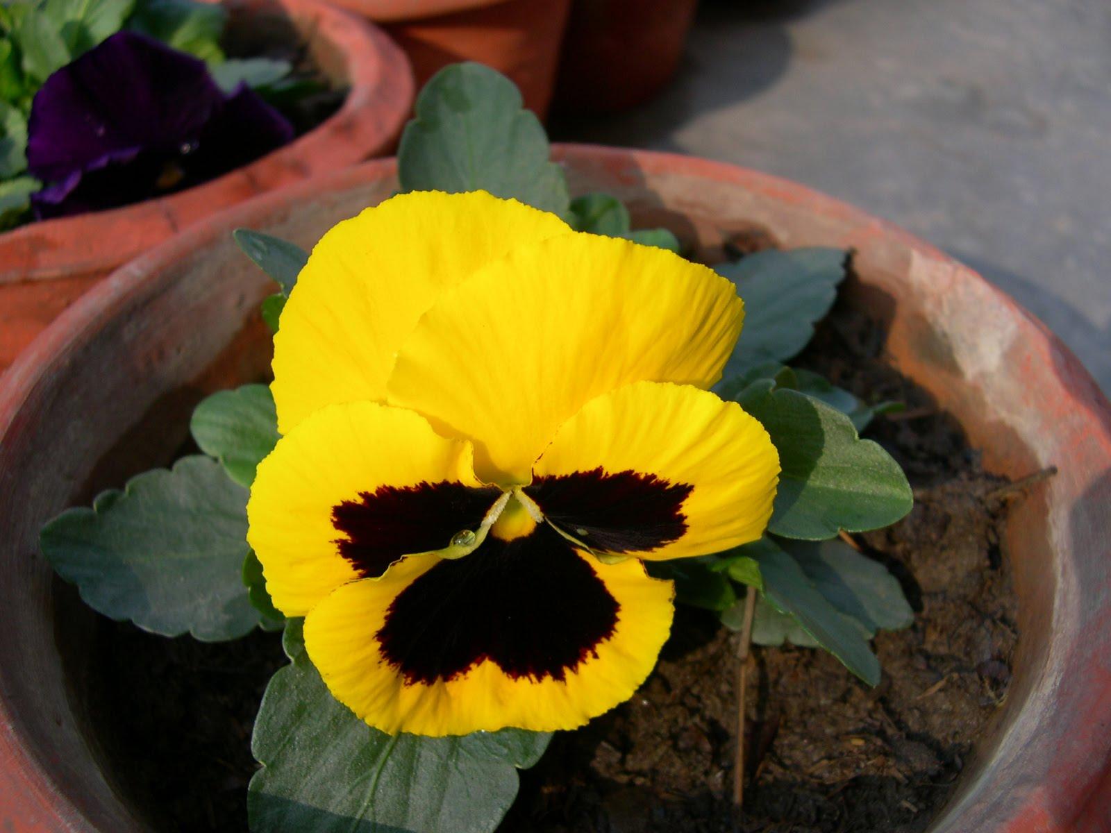 A Delhi Gardeners Blog Winter Annuals Season Again In Delhi