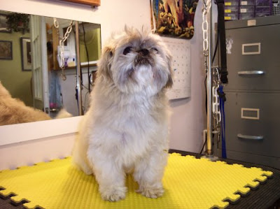Healthy Dog: Shih Tzu before and after grooming for a short hair cut