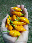 2013 DATIL PEPPER SEEDS ARE READY!