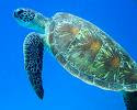 Turtles, Sea Animal