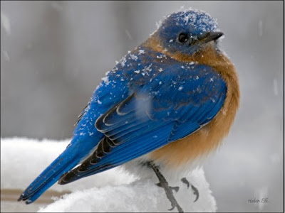 Blue Bird Photo