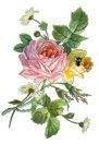 En vacker ros...