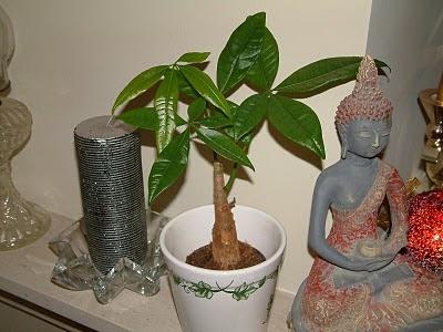 Plantas de interior - Pachira aquatica