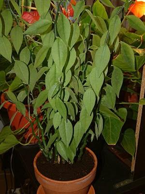 Plantas de interior: Pedilanthus tithymaloides