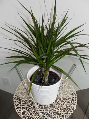 Plantas de interior - Dracaena marginata original