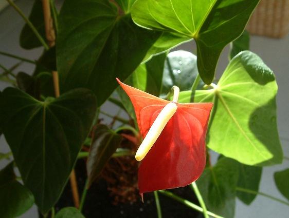 Anthurium andraeanum plantas de interior que n o gostam - Plantas de interior resistentes ...