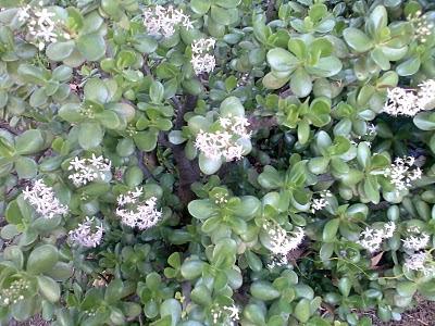 Plantas de interior - Crassula ovata