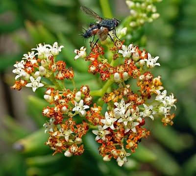 Crassula tetragona em flor - Plantas de interior