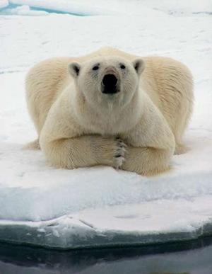 Polar Bear Pose