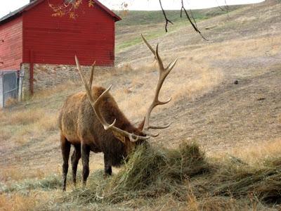 Kendrick Park bull elk
