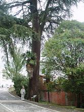 A la entrada de Gata hay un cedro enorme, como los del Líbano