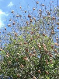 Ninhos numa árvore